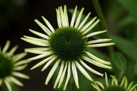 blomst-hvid-strit